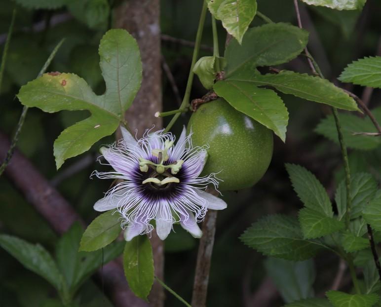 passiflora edulis sims 1818. Black Bedroom Furniture Sets. Home Design Ideas