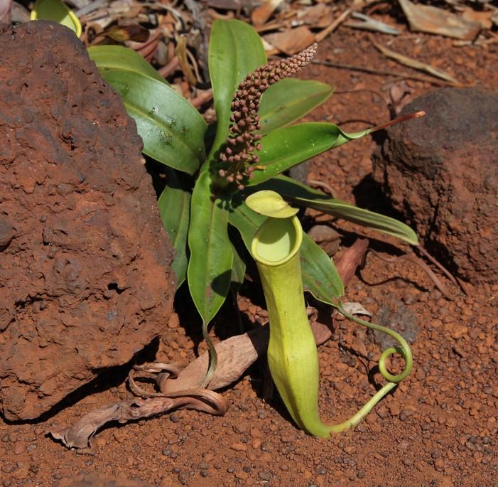 plante carnivore nouvelle caledonie