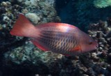 Scarus frenatus Bridled parrotfish New Caledonia female reddish with red fins and six or seven dark stripes along the sides of the body