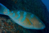 Scarus ghobban Blue-barred parrotfish New Caledonia dull orange-yellow with five incomplete blue bars on the body