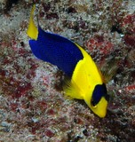 Centropyge bicolor angelfish Black and gold angel-fish Blue and gold angelfish Two colored angelfish fish New Caledonia