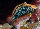 Macropharyngodon meleagris Blackspotted wrasse Eastern leopard New Caledonia diving underwater fauna biodiversity