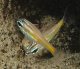 Ostorhinchus cyanosoma Goldenstriped cardinalfish juvenil New Caledonia identification