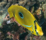 Chaetodon Bennetti Eclipse butterflyfish New Caledonia fish underwater fauna diving