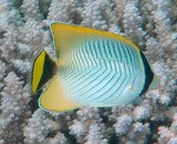 Chaetodon trifascialis Chevroned butterflyfish New Caledonia reef fish lagoon