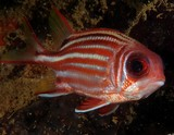 Sargocentron rubrum Red squirrelfish redcoat Scarlet-tailed squirrel-fish underwater fauna New Caledonia