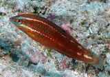 Halichoeres biocellatus Biocellate wrasse New Caledonia on rocky or rubble-algae substrates