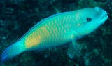 Chlorurus spilurus spectacled parrotfish New Caledonia Terminal males are green with a pink bar on each scale