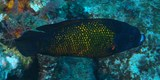 Labropsis australis Southern tubelip wrasse New Caledonia Inhabits shallow reef areas with high coral cover