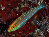 Halichoeres claudia Ornamental Wrasse New Caledonia Labridae Family picture underwater