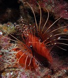 Pterois antennata Broadbarred firefish New Caledonia Venomous fish painful sting
