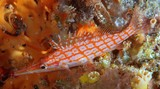 Oxycirrhites typus Longnose hawkfish New Caledonia very long snout