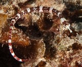 Corythoichthys amplexus fijian banded pipefish New Caledonia widespread species