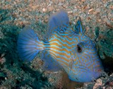 Pseudobalistes fuscus Blue-and-gold triggerfish New Caledonia Larger juveniles network brilliant blue lines