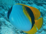 Chaetodon lineolatus Lined butterflyfish New Caledonia dorsal caudal and anal fins are bright yellow