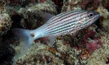 Cheilodipterus macrodon Tiger cardinalfish New Caledonia pale grey color; eight red-brown stripes on side, caudal fin base whitish