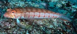 Parapercis multiplicata Double-stitch grubfish New Caledonia double lines of dashes over the back