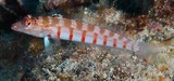 Parapercis multiplicata Red-banded Grubfish New Caledonia Lower two-thirds of body whitish with 8 narrow red bars
