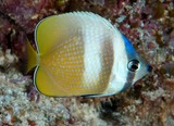 Chaetodon kleinii White-spotted butterflyfish New Caledonia Occur in deeper lagoons and channels