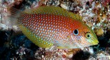 Macropharyngodon kuiteri Black leopard wrasse Body light orangish with a bluish white spot on each scale
