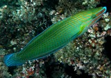 Halichoeres richmondi Richmond's wrasse New Caledonia