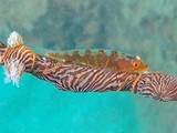 Bryaninops amplus White-line seawhip goby New Caledonia semi-transparent reddish body color