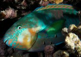 Scarus rivulatus Rivulated parrotfish New Caledonia yellow pectoral fins and orange cheeks