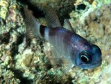 Nectamia fusca Three-saddled cardinalfish New Caledonia reef flats and shallow lagoons