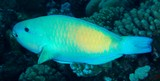 Chlorurus spilurus Bullethead Parrotfish New Caledonia a broad zone of the body may be suffused with yellow