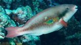 Scarus forsteni Whitespot parrotfish New Caledonia Dental plates partially covered by lips