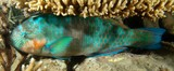 Scarus rivulatus Surf parrotfish New Caledonia resting under coral branch night picture