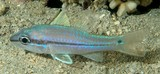 Pristiapogon exostigma Eyeshadow cardinalfish New Caledonia pinkish to pale grey body color