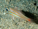 Ostorhinchus rubrimacula Rubyspot cardinalfish New Caledonia blue-gray with 6 orange to orange-yellow stripes