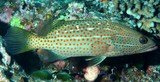 Anyperodon leucogrammicus White-lined grouper New Caledonia lagoon reef fish aquarium trade