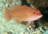 Plectropomus leopardus Common coral trout Juvenile New Caledonia lagoon and reef fish