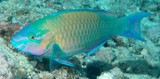 Scarus psittacus Common parrotfish New Caledonia body grey to reddish brown