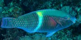 Scarus schlegeli Five-banded parrotfish New Caledonia Males are dark bluish to purple with a pale blue on the upper body anteriorly