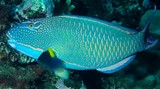 Cetoscarus ocellatus Red-speckled parrotfish New Caledonia parrotfish