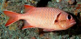 Myripristis berndti Bigscale soldierfish New Caledonia  inner pectoral axil with small scales