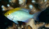 Pomacentrus aurifrons Yellowhead damselfish New Caledonia  broad zone of yellow encompassing snout