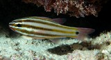 Ostorhinchus angustatus Broadstriped cardinalfish New Caledonia brassy to dark brown in color