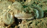 Inimicus caledonicus Chinese ghoul New Caledonia fish dangerous sting