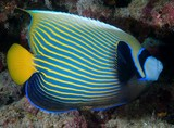 Pomacanthus imperator Emperor angelfish New Caledonia light-blue stripes along a dark blue background