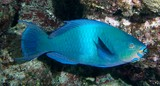 Scarus altipinnis Mini-fin parrotfish New Caledonia Colouration changes with growth