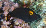 Pervagor alternans Yellow-eyed Leatherjacket New Caledonia eyes and surrounding area bright yellow