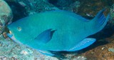 Scarus altipinnis Filamentfinned parrotfish New Caledonia two blue-green bars on the chin