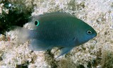 Pomacentrus adelus Obscure damselfish New Caledonia black ocellus on posterior part of dorsal fin