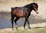 Wild horse stallion male not castrated New Caledonia island adventure in the bush