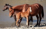 Wild horses calf and her mother North New Caledonia Island animal