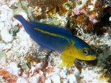 Pseudochromis cyanotaenia Blue-barred dottyback New Caledonia secretive species found in holes and crevices